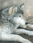 Grey Drawings Framed Prints - Calm Wolf Framed Print by Carla Kurt