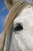 Camargue Horse Posters - Camargue Horse Equus Caballus Eye Poster by Konrad Wothe