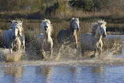Camargue Horse Posters - Camargue Horse Equus Caballus Group Poster by Konrad Wothe