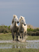 Camargue Horse Posters - Camargue Horse Equus Caballus Pair Poster by Konrad Wothe