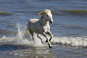 Camargue Horse Posters - Camargue Horse Equus Caballus Running Poster by Konrad Wothe