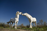 Camargue Horse Posters - Camargue Horse Equus Caballus Stallions Poster by Konrad Wothe