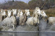 Camargue Horse Posters - Camargue Horse Poster by Sylvain Cordier