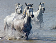 Camargue Horse Posters - Camargue Horses, France Poster by Keren Su