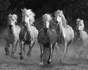 Camargue Horse Posters - Camargue Horses Running Poster by Carol Walker