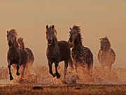 Camargue Horse Posters - Camargue Horses Running Through Water At Dusk Poster by David Tipling