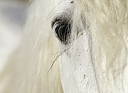 Camargue Horse Posters - Camargue Stallions Eye Poster by Carol Walker