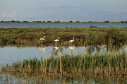 Flamingo Prints - Camargue.Etang of Vacarres Print by Bernard Jaubert