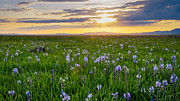 Food Source Prints - Camas Fields Print by Idaho Scenic Images Linda Lantzy