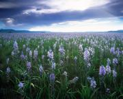 Blue Flowers Photos - Camas Marsh 2 by Leland Howard