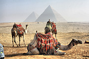 Pyramids Framed Prints - Camel And Pyramids, Caro, Egypt. Framed Print by Oudi