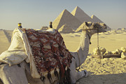 Camel Photos - Camel and the Giza Pyramids by Adam Crowley