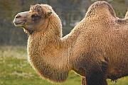 Camel Photos - Camel by David  Naman