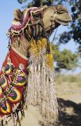 Camel Photos - Camel In Ceremonial Costume by Gloria and Richard Maschmeyer - Printscapes