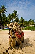 Camel Photos - Camel in the Tropics by Nila Newsom