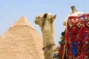 Ancient Ruins Prints - Camel Near A Pyramid, Giza, Egypt Print by Chris Knorr