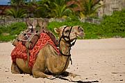 Camel Photos - Camel on the beach by Nila Newsom