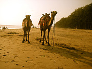 Ravindra Kajari - Camel on the sandy shore