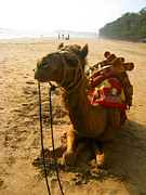 Ravindra Kajari - Camel on the shore