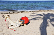 Camel Photos - Camel resting on the beach by Sami Sarkis