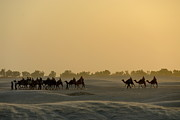 Animals On Train Framed Prints - Camel ride at sunset in Sahara desert Framed Print by Sami Sarkis