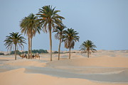 Fan Palm Framed Prints - Camel ride in Sahara desert Framed Print by Sami Sarkis
