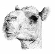 Camel Drawings - Camel by Scott Woyak