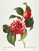 Camellia Japonica Posters - Camellia, 1833 Poster by Granger