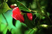Camellia Dream Print by Rebecca Sherman