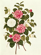 White Flowers Paintings - Camellia by English School