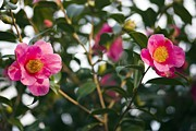 Camellia Japonica Posters - Camellia Flower (camelia Japonica) Poster by Dr Keith Wheeler