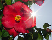 Camellia Photo Metal Prints - Camellia flower Metal Print by Mats Silvan