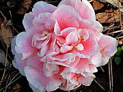 Camellia Photos - Camellia flower by Susanne Van Hulst