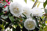 Camellia Japonica Posters - Camellia Flowers (camellia Japonica) Poster by Dr Keith Wheeler