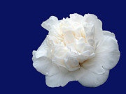 Camellia Japonica Posters - Camellia Poster by Gaspar Avila