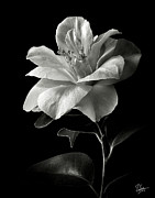 Flower Photos Posters - Camellia in Black and White Poster by Endre Balogh