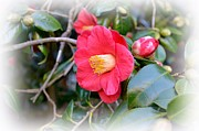Camellia Japonica Posters - Camellia Japonica Poster by Linda Cook