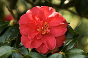 Camellia Japonica Posters - Camellia Japonica mercury Poster by Adrian Thomas