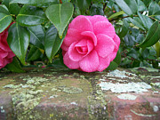 Blooming Bushes Prints - Camellia On Wall Print by Larry Bishop