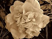 Camellia Photo Metal Prints - Camellia Sepia Metal Print by Susanne Van Hulst