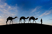 Sahara Prints - Camels - 3 Print by Okan YILMAZ