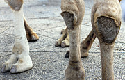 Camels Photos - Camels Feet by Munir Alawi