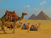 Northern Africa Framed Prints - Camels near Pyramids of Giza in Egypt Framed Print by Ruth Hager