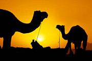 Silhouettes Metal Prints - Camels of Rajasthan Metal Print by Mukesh Srivastava