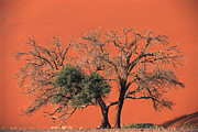 Namib Naukluft National Park Framed Prints - Camelthorn Acacia Acacia Erioloba Tree Framed Print by Pete Oxford