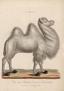 18th Century Digital Art - Camelus by Hulton Archive
