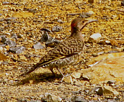 Pretty Colored Bird Photos - Camo Ground Bird by Debra     Vatalaro