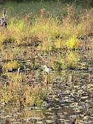Maria Urso - Artist and Photographer - Camoflauged Heron in...