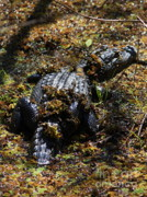 Gator Prints - Camouflage Print by Carol Groenen