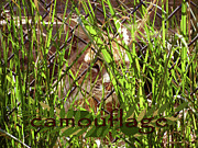 Bobcats Metal Prints - Camouflage Metal Print by Methune Hively